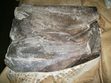 Палтус тушка 1-2 кг.